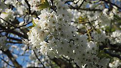 fleurs de cerisier, bis